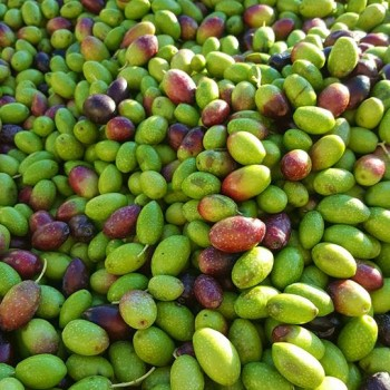 Agricontura olives
