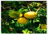 Harvest citrus