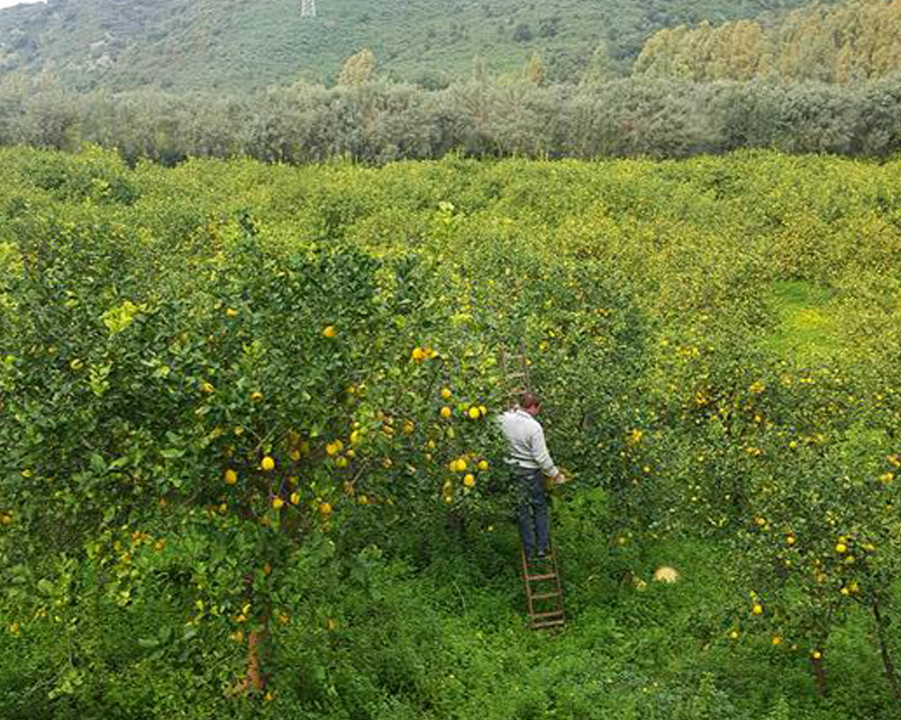 Citrus and fruits harvesting